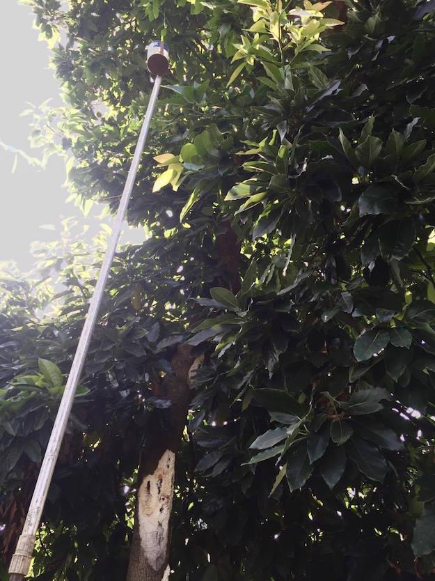 pianta avocado