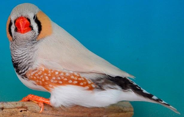 uccelli diamantini canto