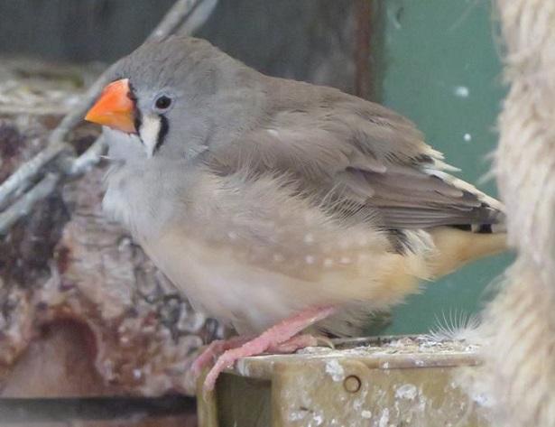 uccelli diamantini mandarini