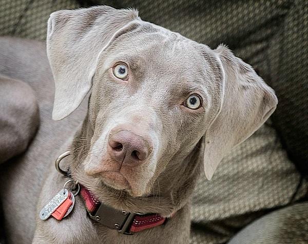 cane bracco grigio