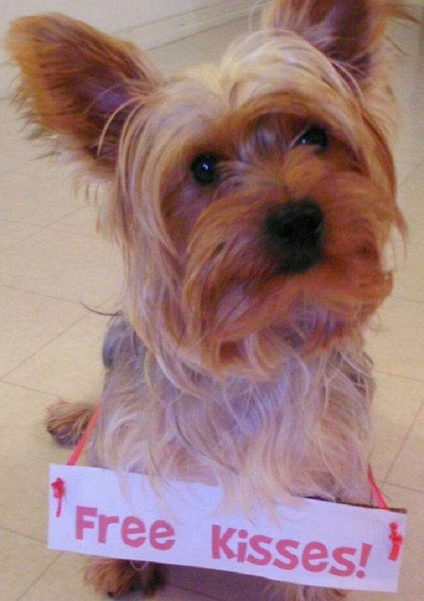 yorkshire terrier carattere