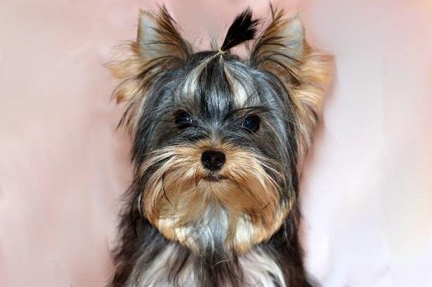 yorkshire terrier aspetto