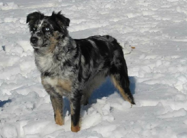 Fan Choice Record October 4 51658 besides Australian Stumpy Tail Cattle Dog furthermore London Borough of Tower Hamlets in addition File Chloeonly furthermore Australian Shepherd 70215. on smithfield dogs