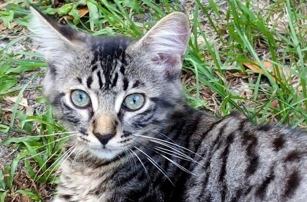 gatto bobtail
