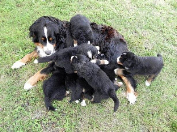 cuccioli di bovaro del bernese