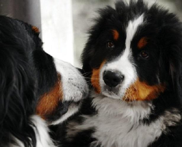 cani da compagnia bovaro bernese