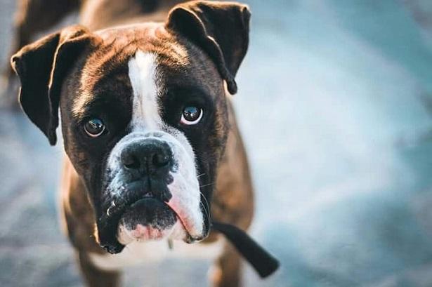 Boxer: carattere e prezzo