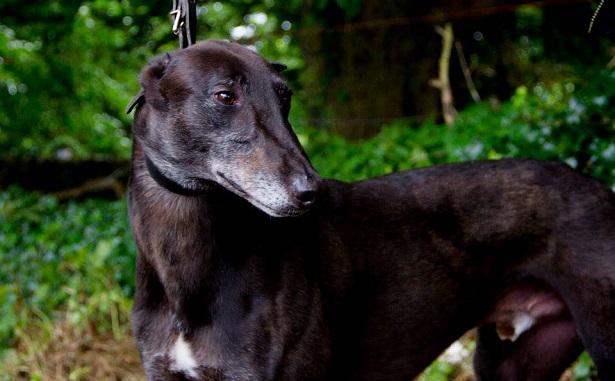 cane greyhound