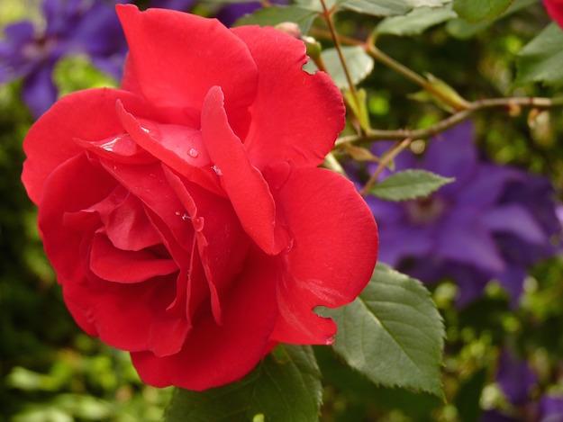 macchie nere foglie rose