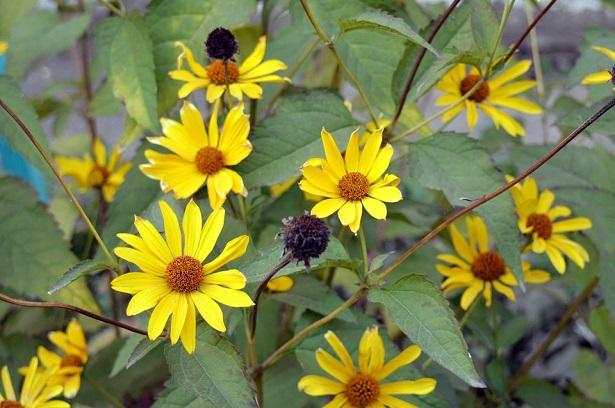topinambur fiore