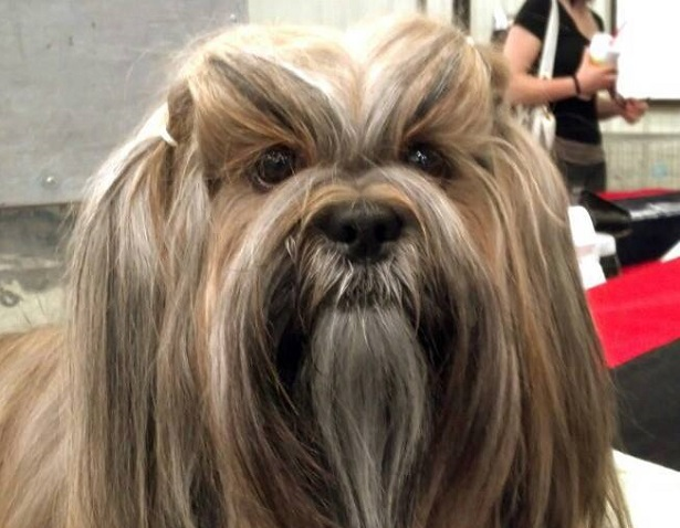 Lhasa Apso carattere