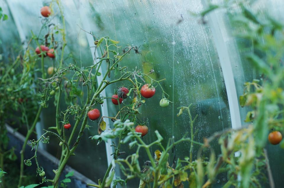 Trapianto dei pomodori