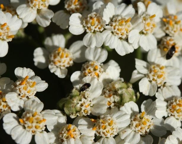 achillea millefolium fiore