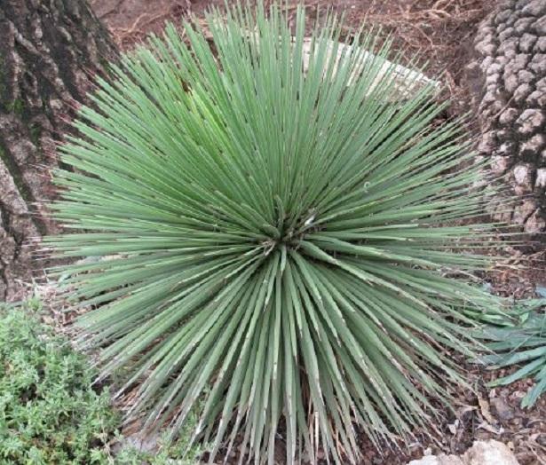 agave semi