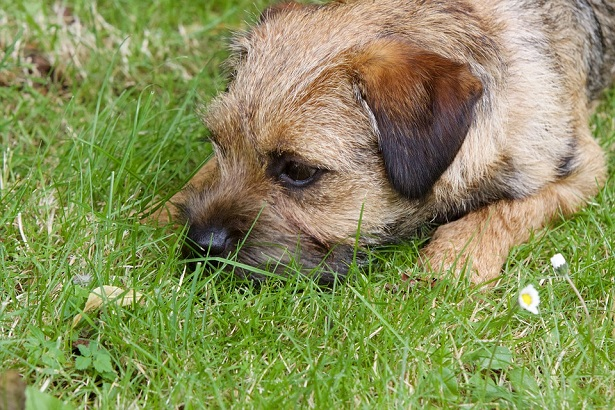border terrier aspetto