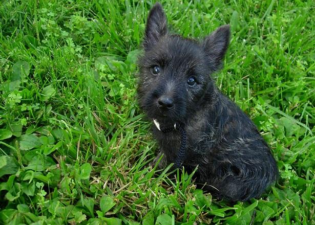 cairn terrier origini
