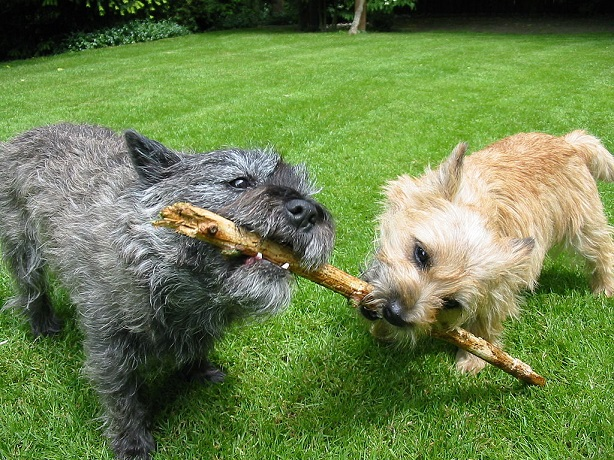 cairn terrier aspetto