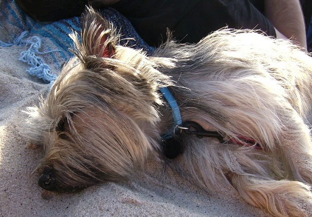 cairn terrier carattere