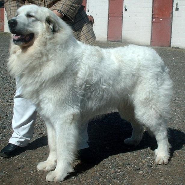 cane da montagna dei pirenei carattere