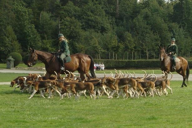 cane foxhound inglese