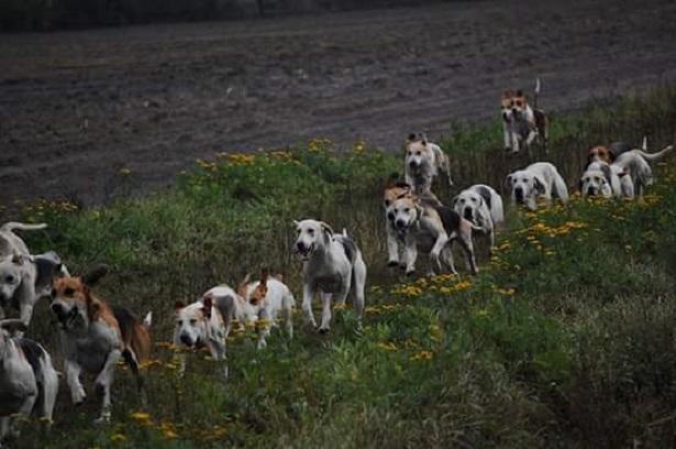 cane foxhound cuccioli