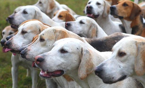 cane foxhound americano