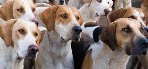 cane foxhound