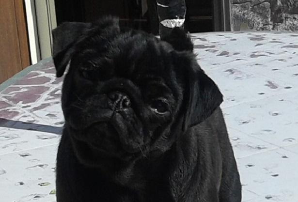 carlino nero cucciolo