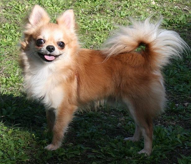 Chihuahua A Pelo Lungo Carattere E Prezzo Idee Green