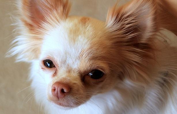 chihuahua a pelo lungo foto