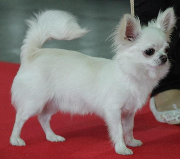 chihuahua a pelo lungo cuccioli