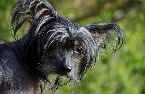 chinese crested dog carattere