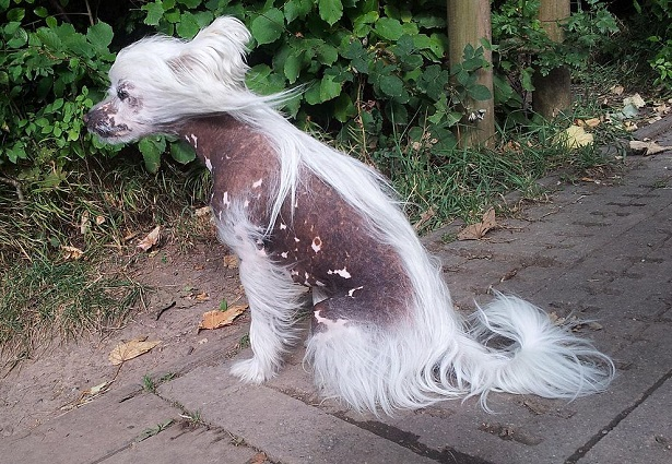 chinese crested dog cuccioli