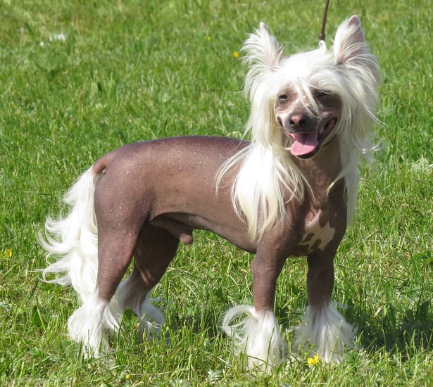 chinese crested dog origini