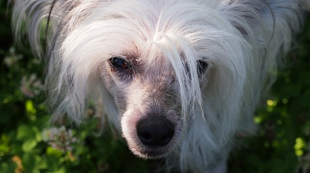 chinese crested dog allevamento