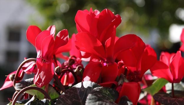 coltivare ciclamini in vaso
