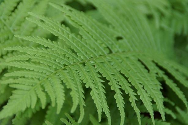 felce pianta e sue propriet idee green