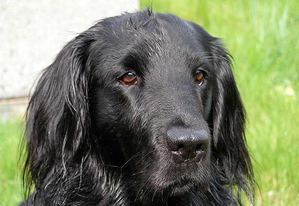 flat coated retriever carattere