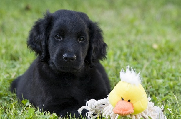 flat coated retriever allevamento