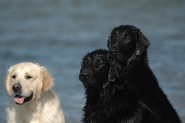 flat coated retriever origini