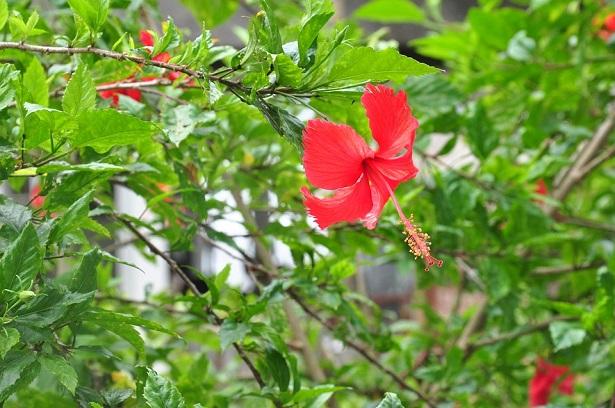 ibisco pianta
