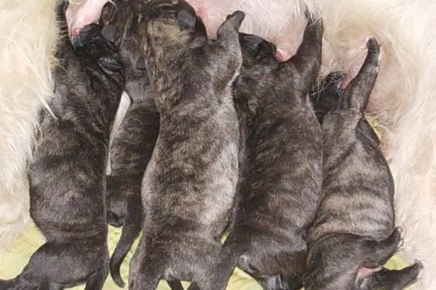 Irish Wolfhound: carattere
