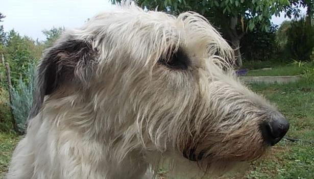 Irish Wolfhound: allevamenti
