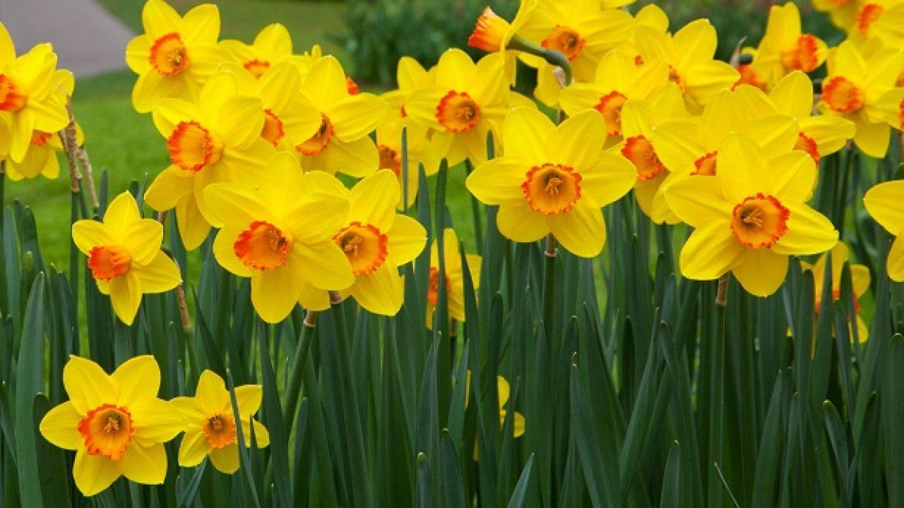 Fiori Narcisi.Narciso Il Fiore E Le Sue Proprieta Curative Idee Green