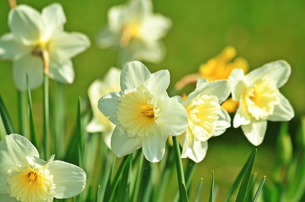 narciso significato del fiore