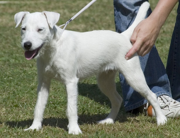 parson russell terrier carattere