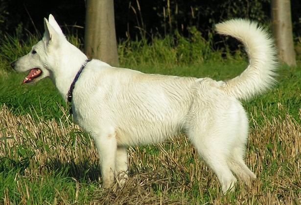 pastore bianco svizzero a pelo lungo