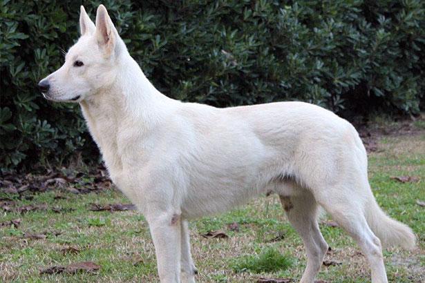 Pastore svizzero lupi di Romagna
