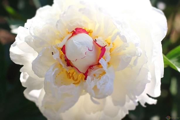 peonia il fiore