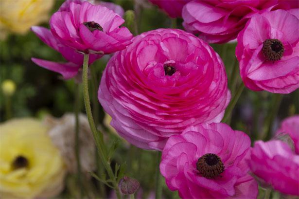 fiore di ranuncolo fucsia
